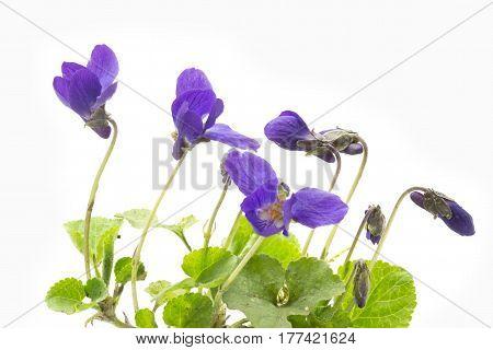 Violets on light background, shot with large DOF