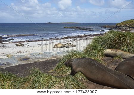 Group of Southern Elephant Seal (Mirounga leonina) in the tussock grass above a sandy beach on a beach on Sealion Island in the Falkland Islands.