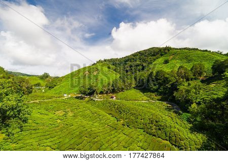 Green Tea Plantation On Mountain At Cameron Highland