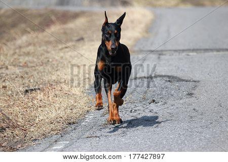 A Black Doberman Pinscher which runs on the road.