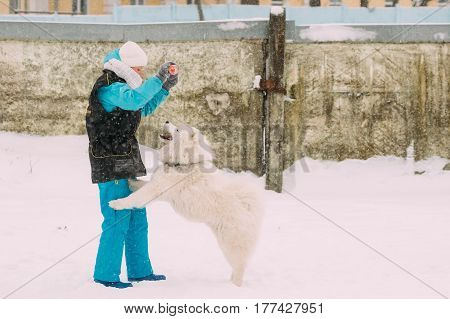 Gomel, Belarus - January 8, 2017: Girl is engaged in dog training. Funny Young White Samoyed Dog Or Bjelkier, Smiley, Sammy Playing Outdoor In Snow, Winter Season