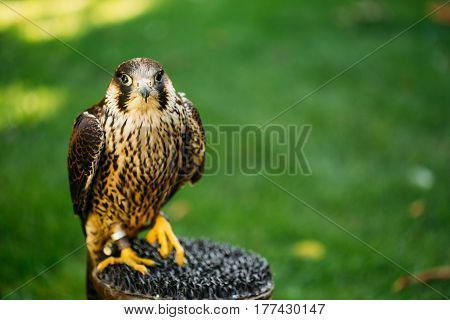 The peregrine falcon, Falco peregrinus, also known as the peregrine, and historically as the duck hawk in North America, is a widespread bird of prey in the family Falconidae.
