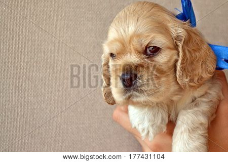 American cocker spaniel puppy on wall background