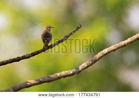 Image of bird on nature background.Wild Animals. (Lanceolated Warbler) (Locustella lanceolata)