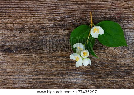 Jasmine fresh flowers and leaves on textured wooden background