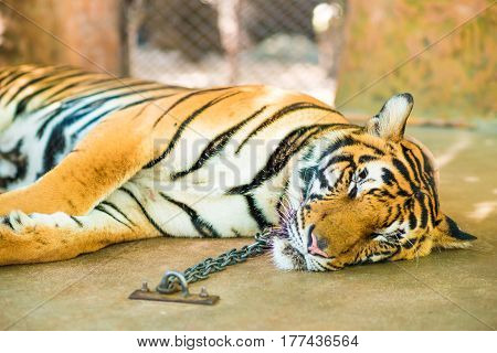 Tiger sleep on floor Sumatra tiger lting