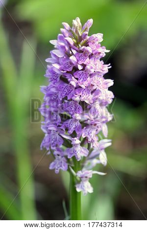 Dactylorhiza Maculata (the Heath Spotted-orchid)