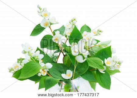 Bouquet of Jasmine fresh flowers and leaves twig isolated on white background
