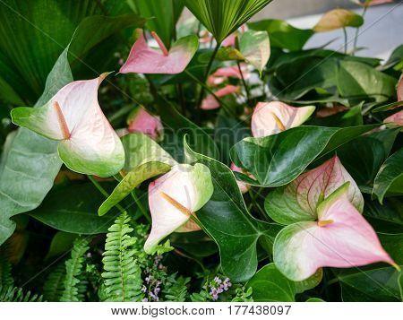 Pink Anthurium flower aka flamingo in the garden