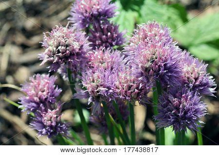 Chives (allium Schoenoprasum) Flowers