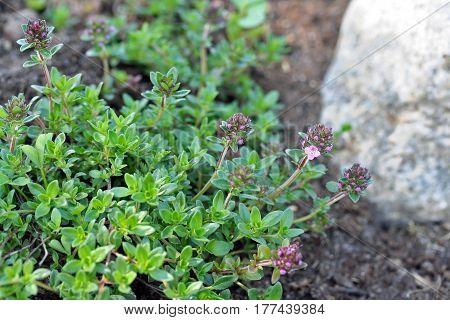 Thymus Serpyllum, Known As Breckland Thyme