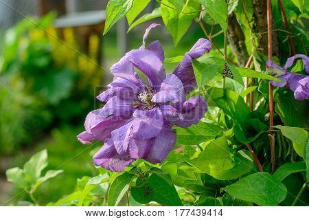 Beautiful purple сlematis flowers in summer garden. Close up.