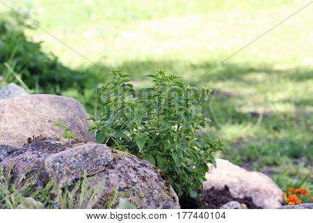 Origanum Vulgare (oregano) Young Plant