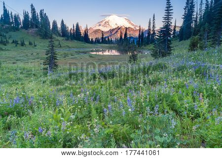Mount Rainier at sunrise from wildflower hillside at Tipsoo Lake