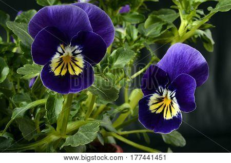 Viola Flower Close Up