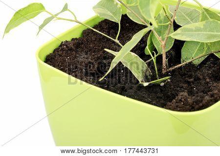 Young ficus benjamin in a flower pot closeup