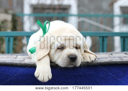 Little Cute Labrador Puppy On A Blue Background