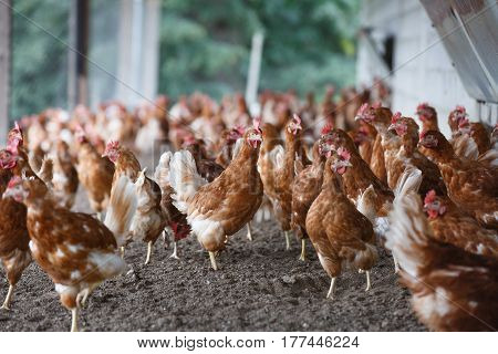Group of free-range chicken freely grazing outside of organic farm. Organic farming animal rights back to nature concept.