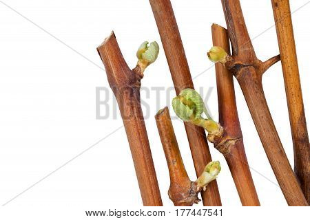 young sprout of grapes on a white background