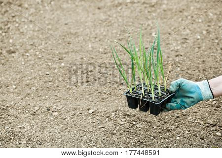 Leek seedlings in pot prepared for planting in freshly ploughed garden bed. Organic gardening healthy food agriculture nutrition and diet background and concept.