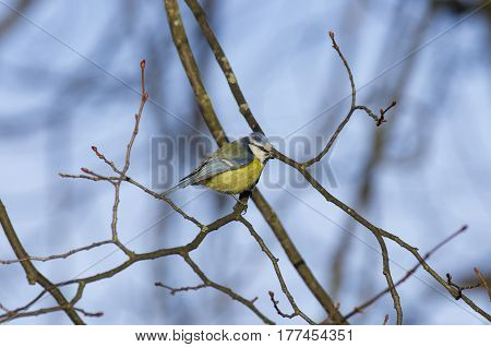 Blue tit sitting on a branch holding in its beak a sunflower seed.