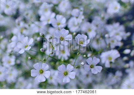 Baby's breath flowers dreamy cool toned background (Gypsophila)