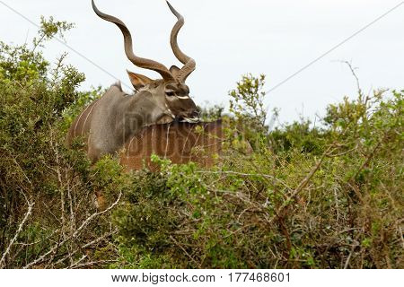 Male Kudu Resting His Head On His Female's Back