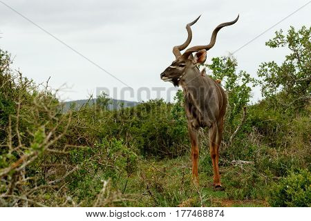 Male Kudu Standing Alone And Looking For His Female