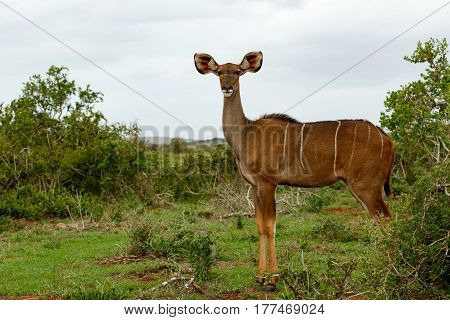 Female Kudu Standing And Looking