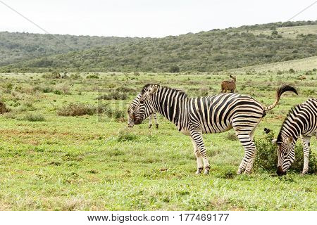 Zebra Taking A Dump In Front Of The Other Zebra
