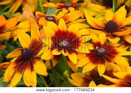 Black Eyed Susan Rudbeckia hirta red and yellow flowers close-up selective focus shallow DOF.