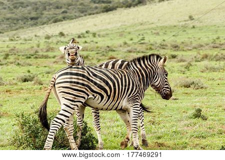 Zebra looking and laughing at the camera.