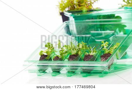 small leafy plant the laboratory on a white background