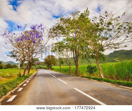 Trees in bloom and sugar cane plantations on a quite road among green hills landscape, Mauritius