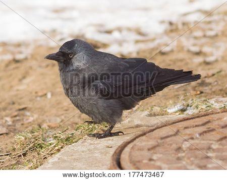 Jackdaw bird Corvus monedula on ground with ice selective focus shallow DOF.