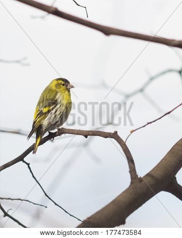 Male of Eurasian Siskin Carduelis spinus on branch close-up portrait selective focus shallow DOF.