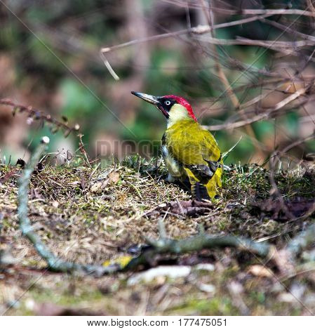 European green woodpecker searching for food in the grass