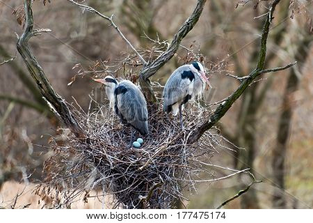 Two grey herons and two eggs in their nest