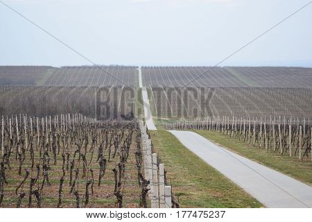 awakening of spring in the vineyard, the road through the vineyard