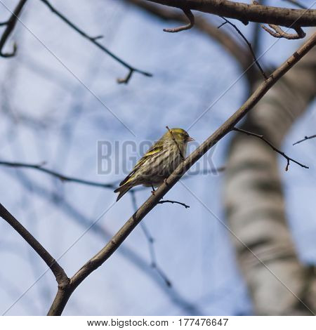 Female of Eurasian Siskin Carduelis spinus hiding in tree branches close-up portrait selective focus shallow DOF.