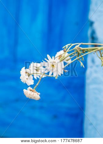 White flowers growing in front of a blue door in Portugal.