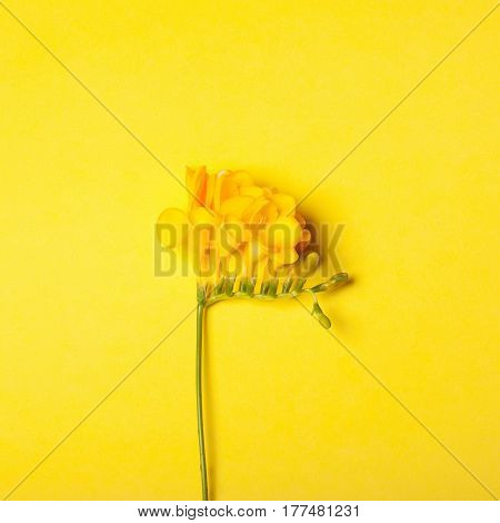 Bright yellow freesia on the yellow background. Concept of spring Women's Day Mothers day 8 March the holiday greetings tenderness femininity brightness. Place for your text
