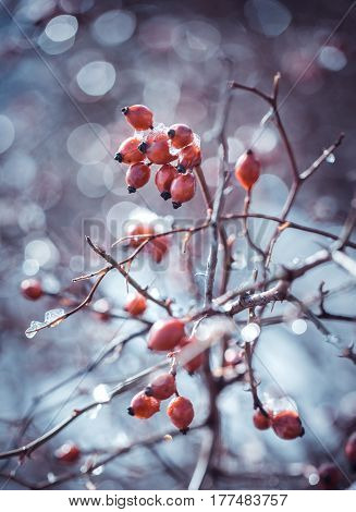 The briar bush under the snow and with hoar on the berries