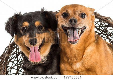Rat Terrier And Mini Dachshund