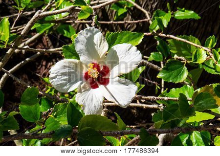 A beautiful exotic Hibiscus with long red & white petals. New Providence, Nassau, Bahamas.