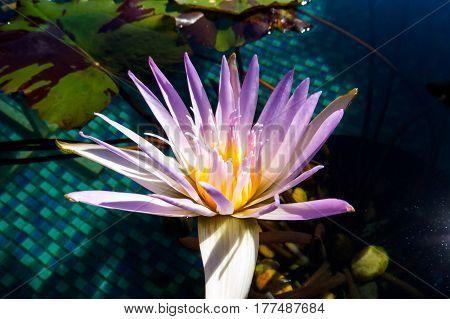 A beautiful purple and white water lily close-up photo. New Providence, Nassau, Bahamas