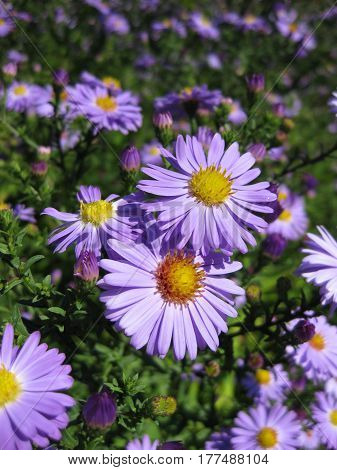 Beautiful bushy aster flower in a natural garden environment - sunny bright scene