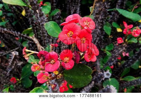 A beautiful exotic bush with red flower and thorns. New Providence, Nassau, Bahamas.