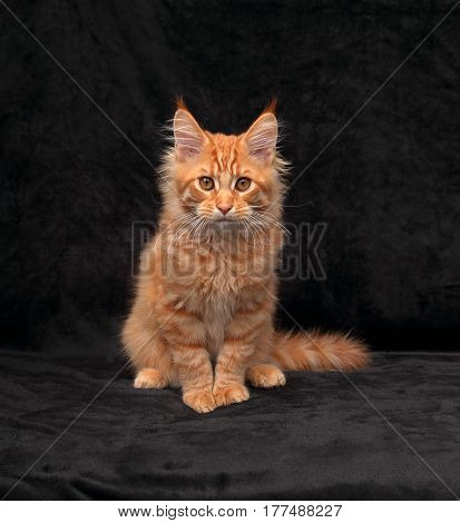 Adorable Serious Red Solid Maine Coon Kitten Sitting With Beautiful Brushes On The Ears On Black Bac