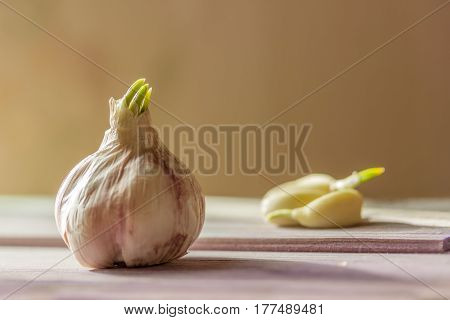 Sprouted Head  Garlic And Lobules On Wooden Gray Table Beige Background